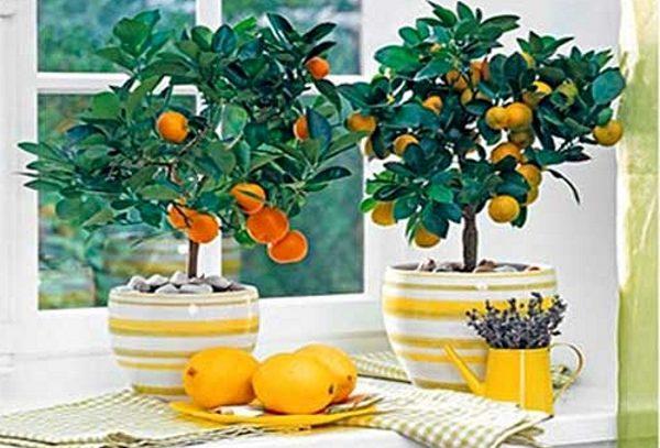 Лимонное дерево можно вырастить в домашних условиях