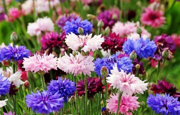 Цветущие садовые растения