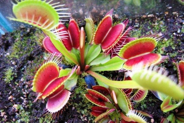 Растение-убийца в дикой природе