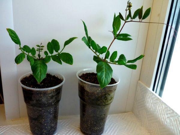 Цепкие усики отрастают на растении еще в период подрастания рассады.