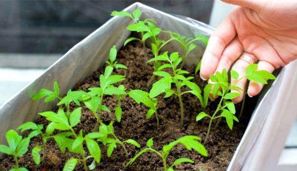 Помидоры для комнатного выращивания можно сеять семенами.
