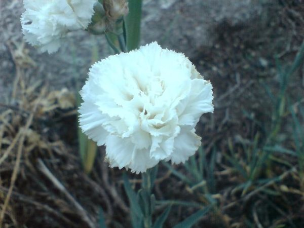 Ароматный цветок маттиолы.