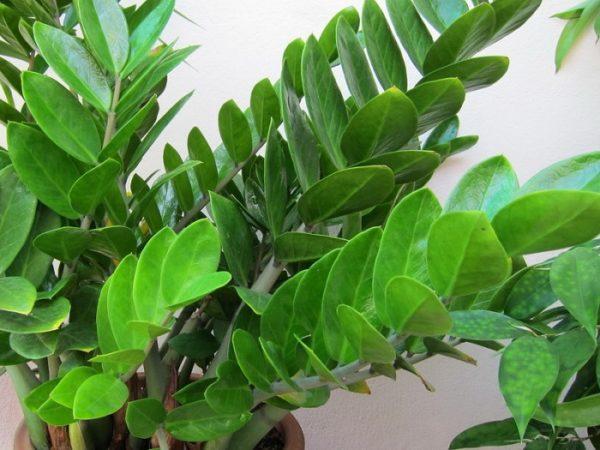 Замиокулькас относится к семейству Ароидные.