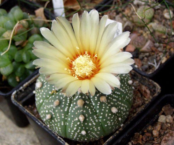 Можно вырастить из семян любой вид редких кактусов.