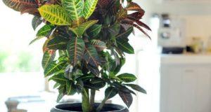 Кодиеум имеет множество сортов с расписными листьями.