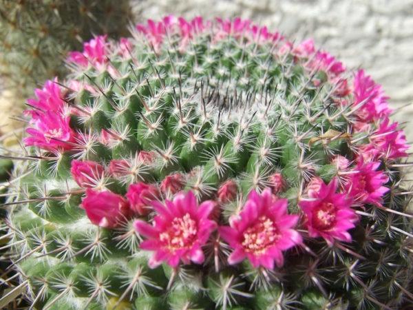 У этого кактуса цветы образуются на верхушке.