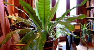 Вайи растения образуют воронку.