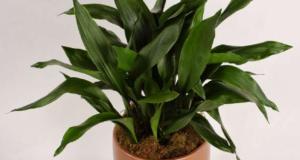 Растение в горшке.