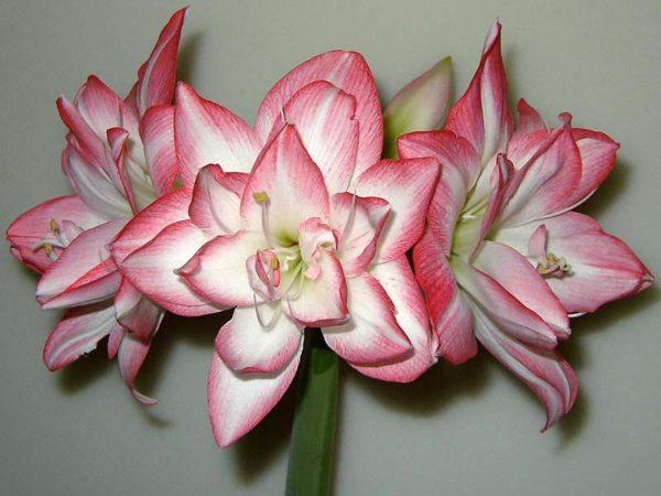 как выглядит цветок анютины глазки