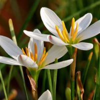Цвет лепестков может быть разным, но чаще выращивают разновидности с белыми и розовыми лепестками.