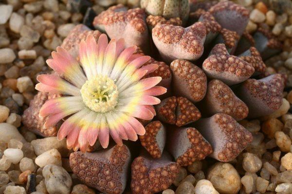 Колонии этих растений в период цветения полностью скрываются под крупными цветами.