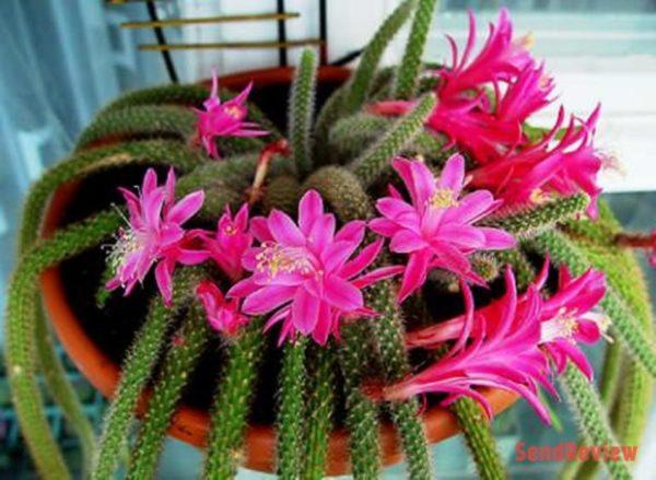 Форма цветка у апорокактусов может быть разной.