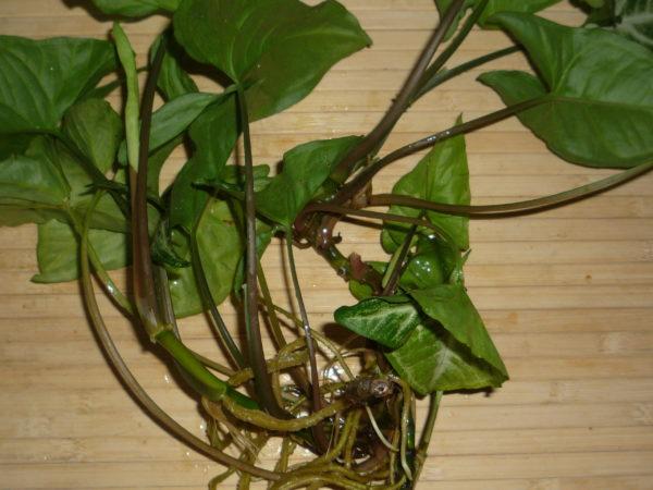 Не стоит дожидаться образования длинной мочки корней, высаживать в грунт можно при длине корней до 2-3 см.