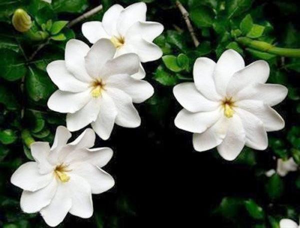 Очаровательное растение со стойким ароматом.