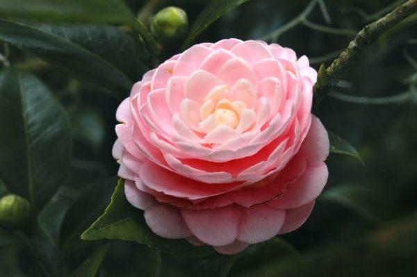 Новинка селекции имеет цветы розового цвета.