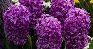 Яркие плотные соцветия обладают удивительным ароматом.
