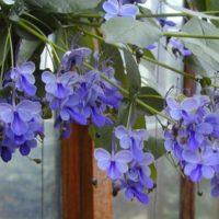 Необыкновенно красивые цветы у волкамерии угандийской.
