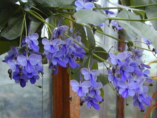 Необыкновенно красивые цветы у волкалмерии угандийской.