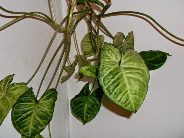 С помощью воздушных корней растение удерживается на опоре.