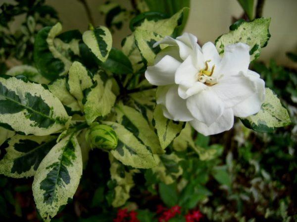 Пестрые листья могут иметь светло-зеленые, белые и кремовые пятна.