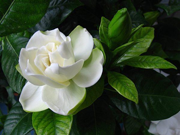 Правильно ухаживайте за растением, оно вознаградит вас обильным цветением.