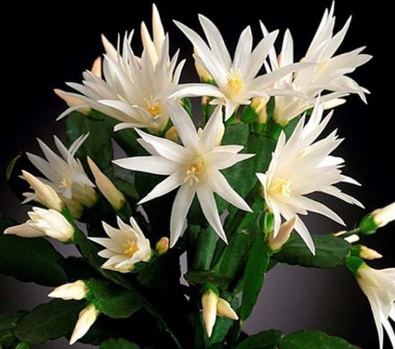 Целый букет расцветает на растении в середине весны.