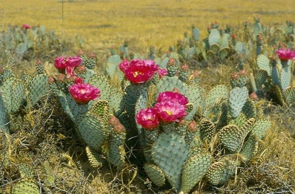 Цветет опунция эффектными крупными цветами.