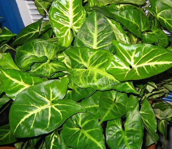 Растение отличается неприхотливостью и изяществом.
