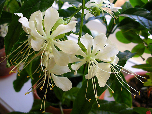 Водопад белых цветов.