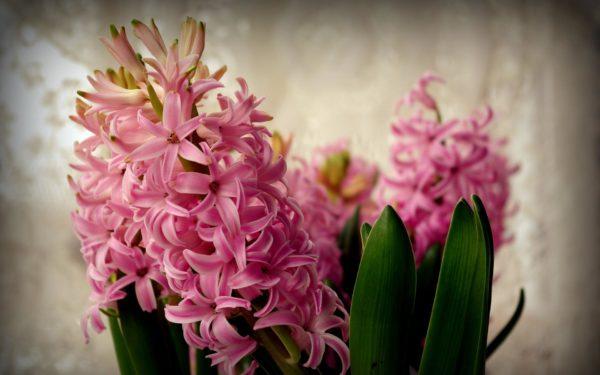 Крастота цветка зависит от правильного ухода.
