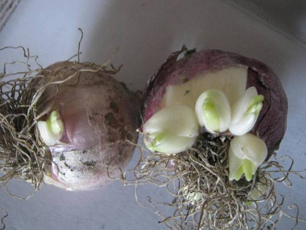 Детку осторожно отделяют от луковицы.