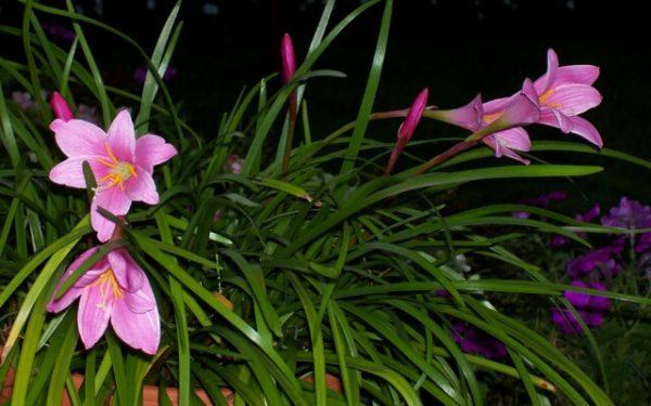 Лилия дождя - теплолюбивое растение, поэтому луковицы высаживают в открытый грунт только в конце весны.