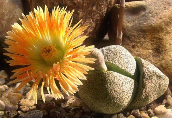 Очаровательные цветы могут иметь простую и полумахровую формы.