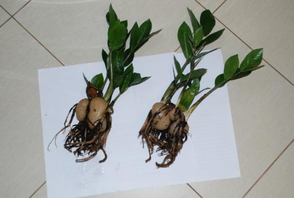 Подготовленные растения для посадки.