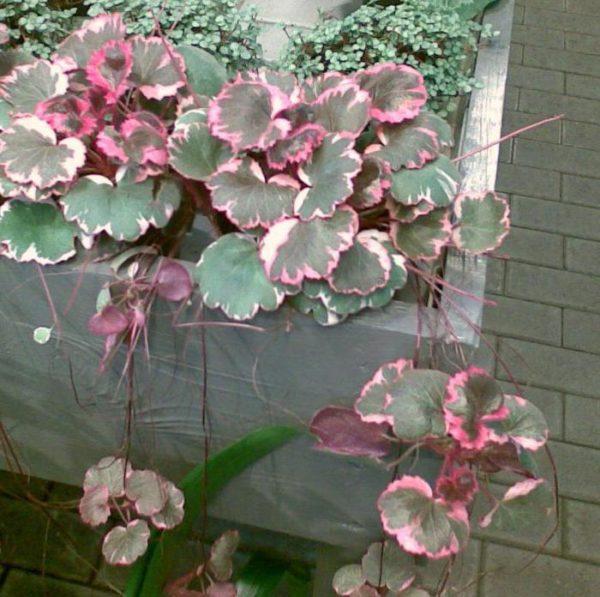 Для растений с вариегатными листьями требуется более светлое содержание.