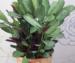 Растение ценится за декоративные крупные листья.