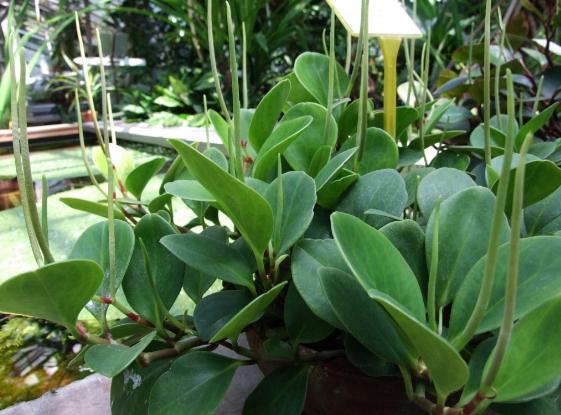 Растение с мясистыми листьями.