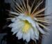 Удивительное соцветие белого оттенка.
