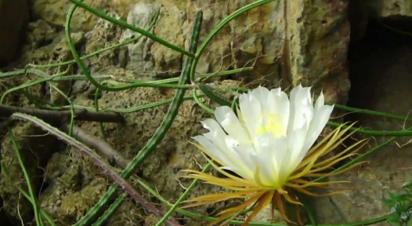 Цветение кактуса в ночное время.