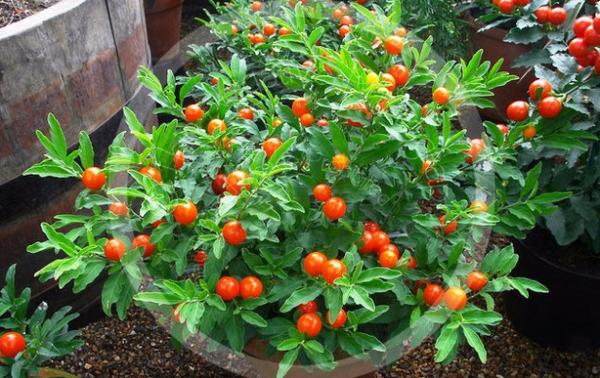 После отцветания появляются ягоды.