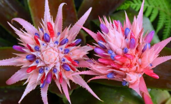 Декоративно-лиственное растение формирует соцветия в благоприятных условиях.