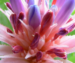 Растение формирует соцветие удивительного окраса.