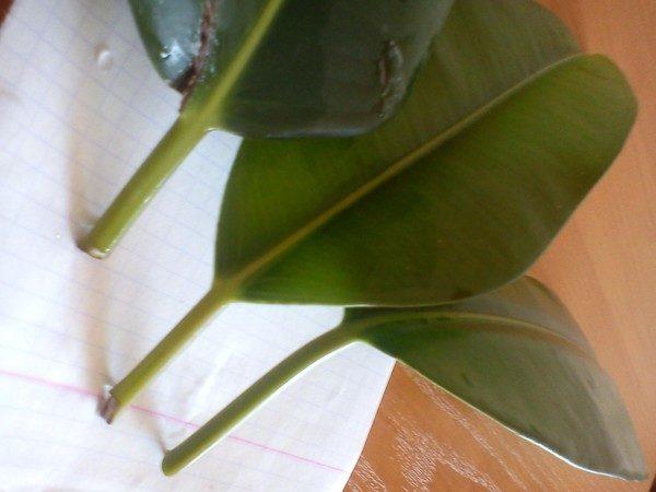 Укоренение листьев проводят в тепличных условиях.