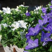 Растение с яркими белыми и синими соцветиями.