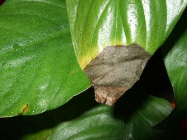 Перелив растения чреват заболеваниями и гибелью растения.