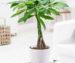 Бутылочное дерево отлично растет в комнатных условиях.