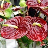 Комнатное растение легко могут заболеть.