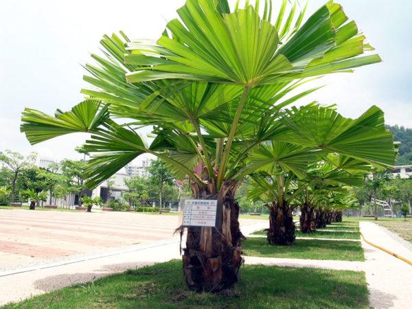 Огромные зеленые веера в природе вырастают на макушке растения.