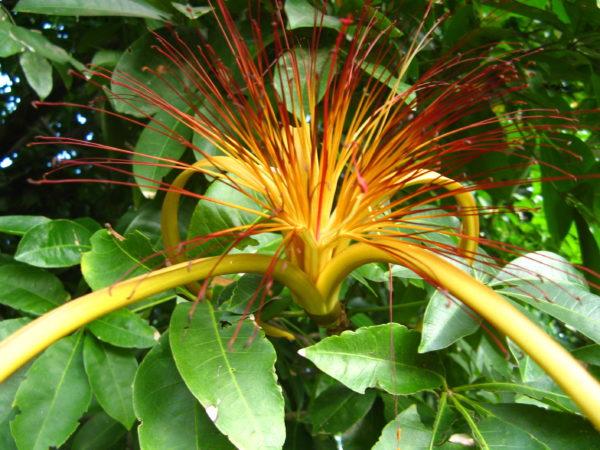 Цветы сложной формы похожи на яркий фонтан.