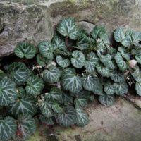 Саксифрага - стойкое растение для комнатного выращивания.